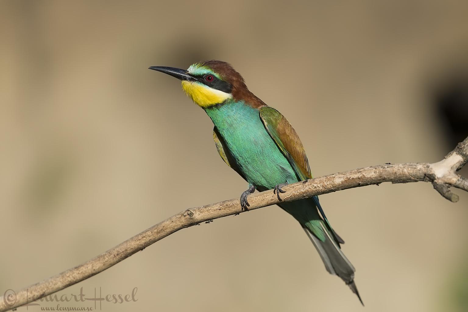European Bee-eater Hungary
