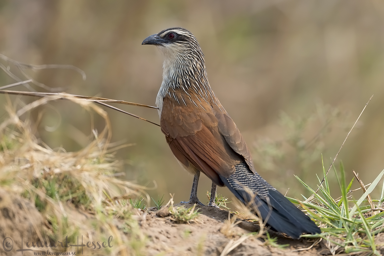 Burchell's Coucal Zambezi river