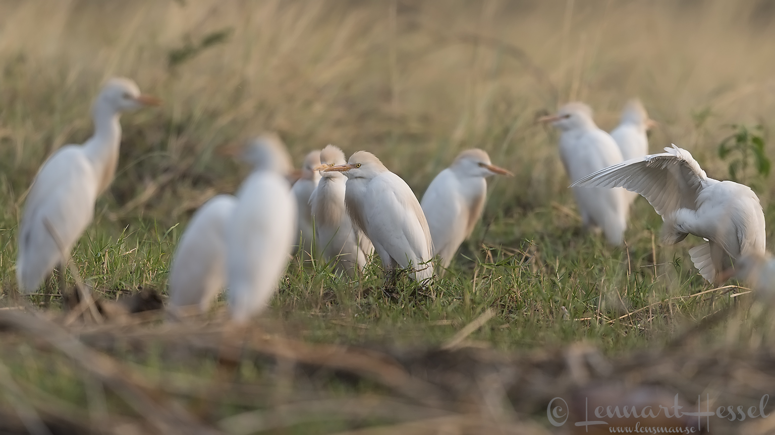 Cattle Egrets Zambezi river
