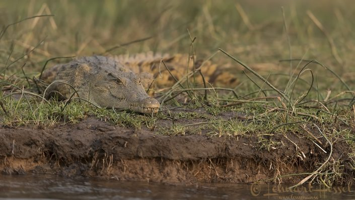 "Nile Crocodile ""Smiley"" Zambezi river"