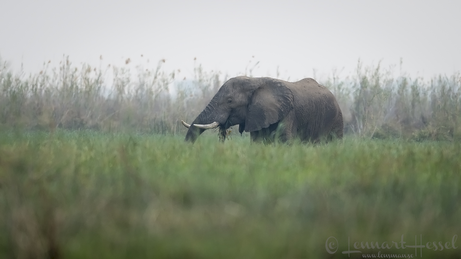 Elephant eating Zambezi river