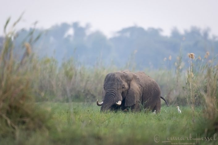 Elephant in the green Zambezi river