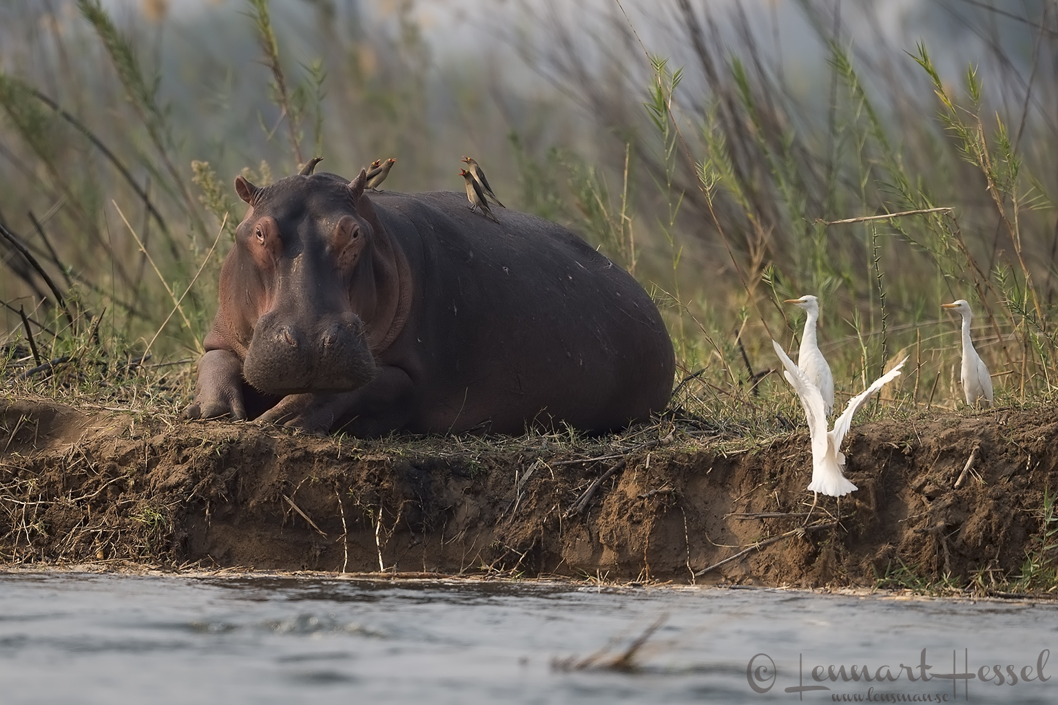 Hippo, Red-billed Oxpeckers and Cattle Egrets Zambezi river