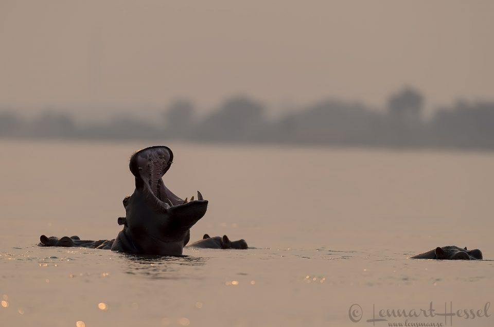 Hippo yawn Zambezi river