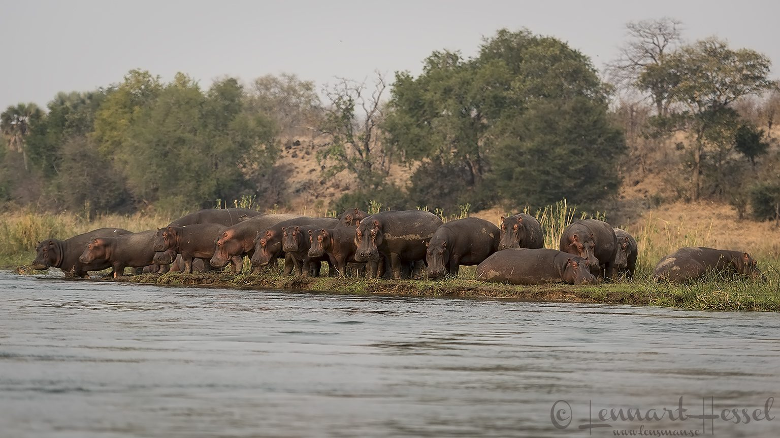 Hippos at the Zambezi river