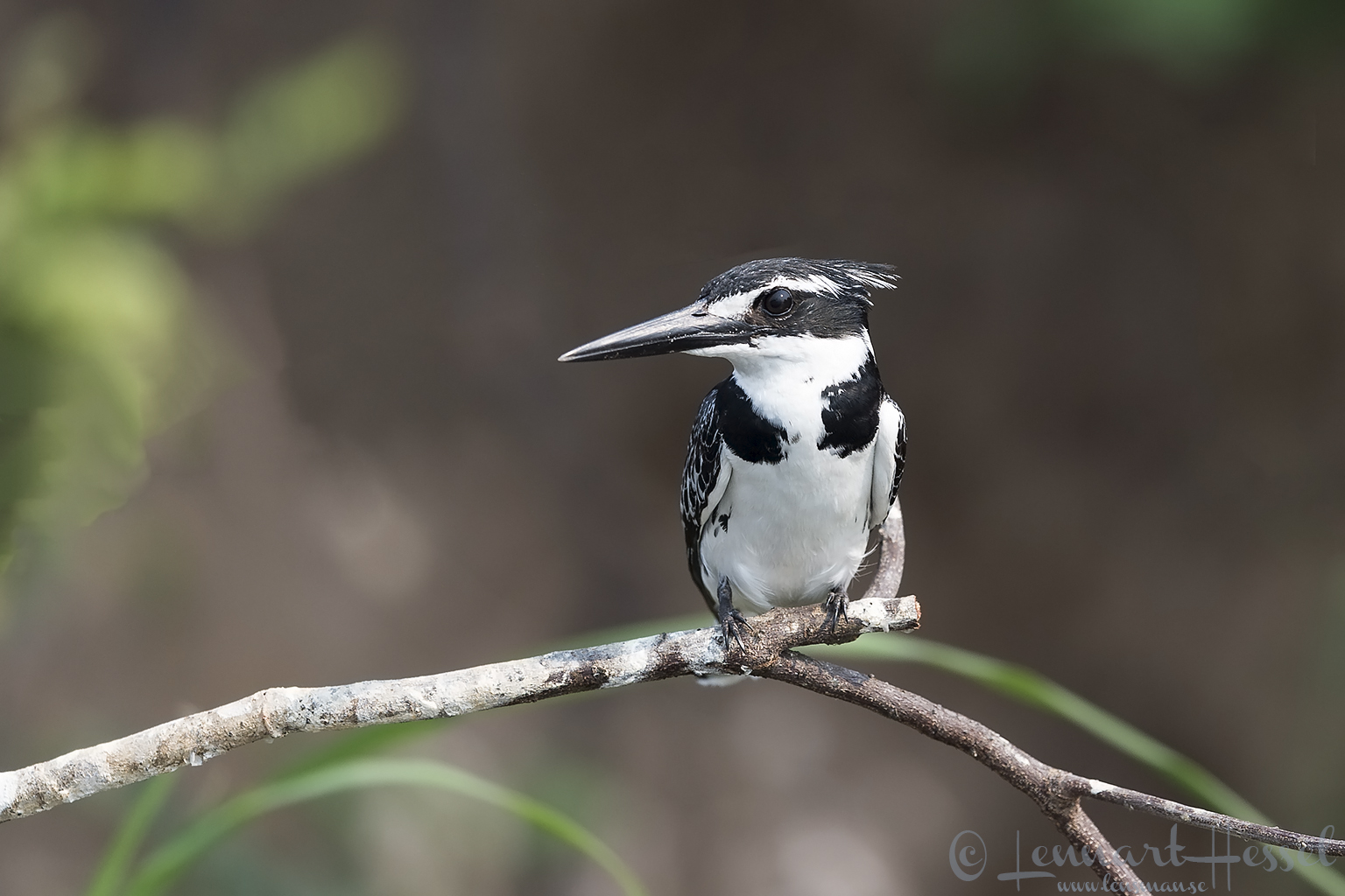 Pied Kingfisher Zambezi river