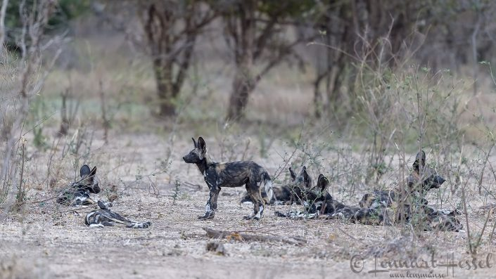 Painted Dog pups and aduls hunt Mana Pools National Park