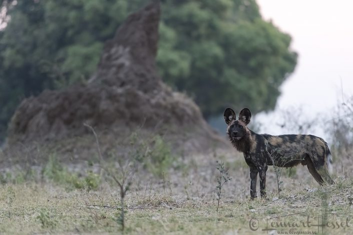 Painted Dog at termite mound hunt Mana Pools National Park