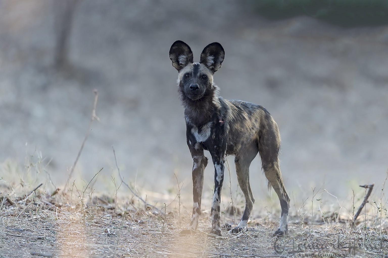Painted Dog look hunt Mana Pools National Park