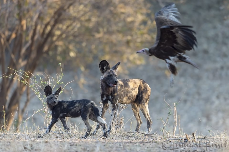 The Painted dog hunt in camp