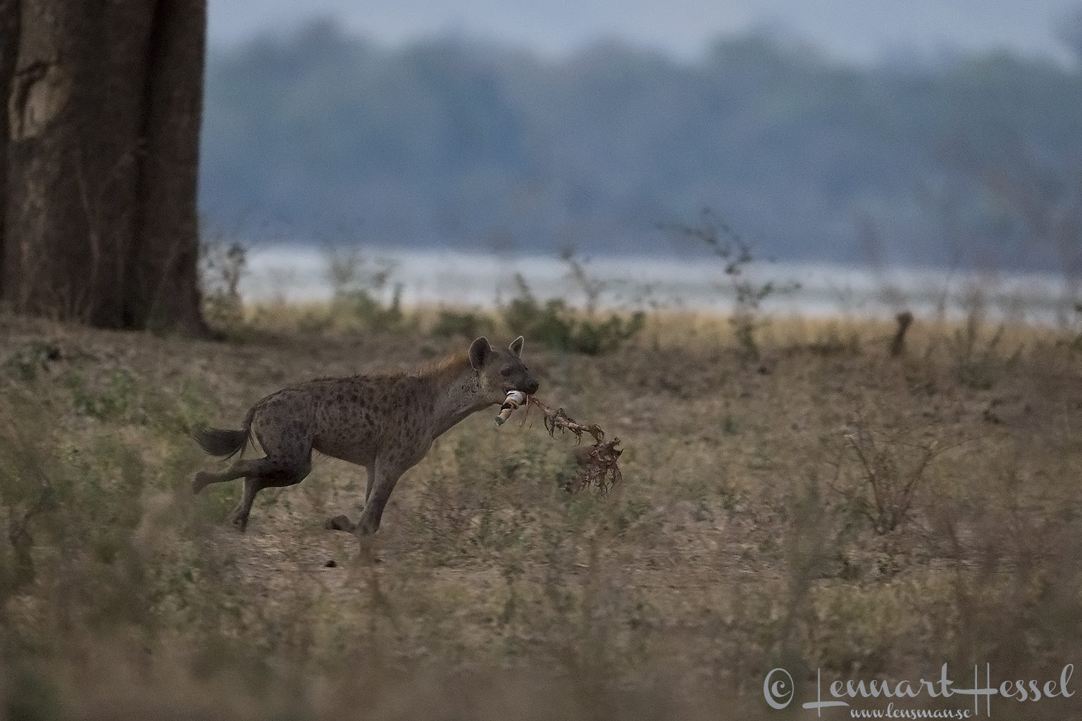 Spotted Hyena running with Painted Dog kill Mana Pools National Park