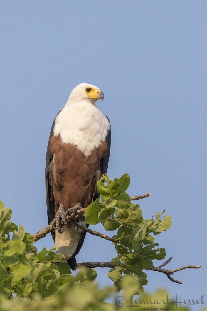 African Fish-Eagle Kafue National Park