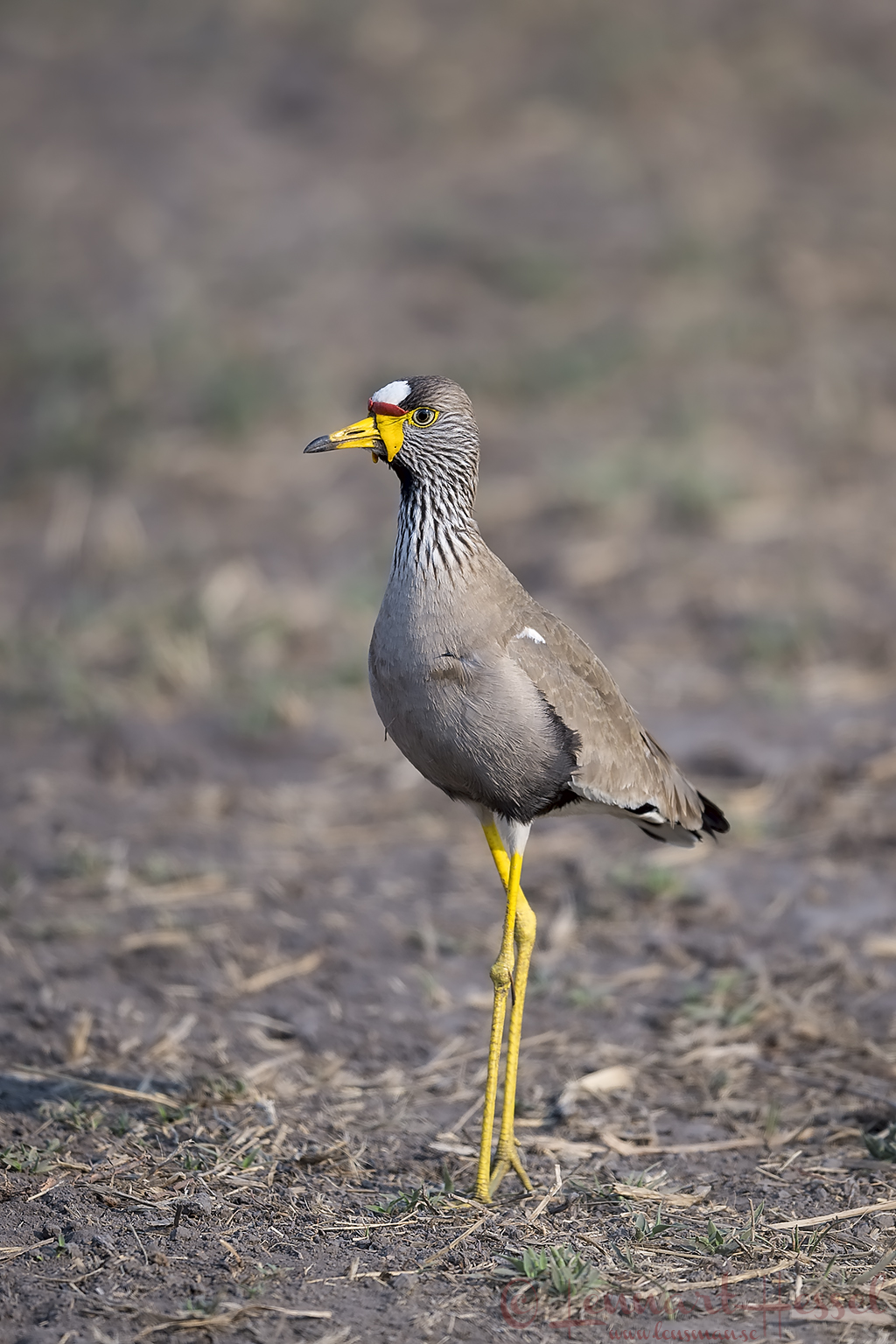 African Wattled Lapwing Kafue National Park