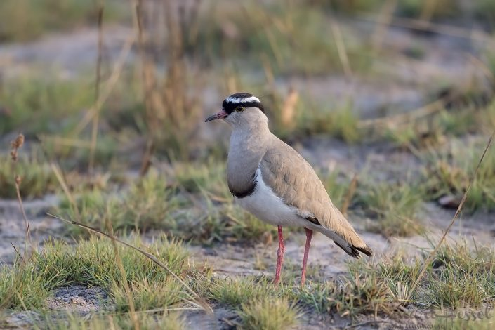 Crowned Lapwing Kafue National Park