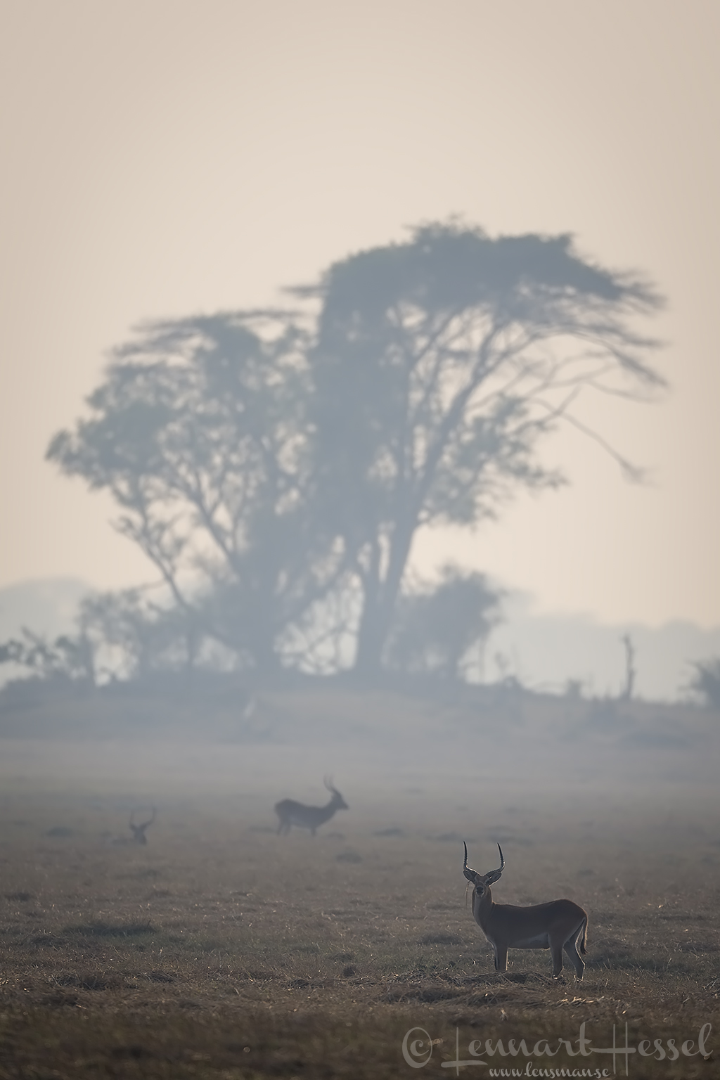 Red Lechwes at sunrise Kafue National Park