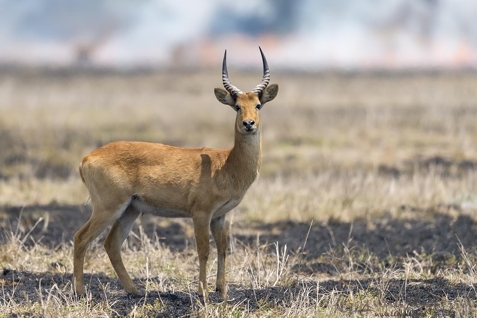Puku in front of bush fire Kafue National Park