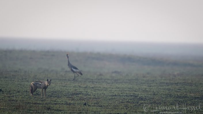 Side-striped Jackal and Grey Crowned Crane Kafue National Park