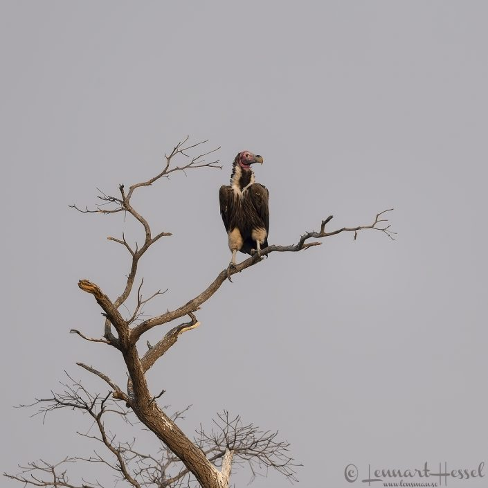 Lappet-faced Vulture Kafue National Park