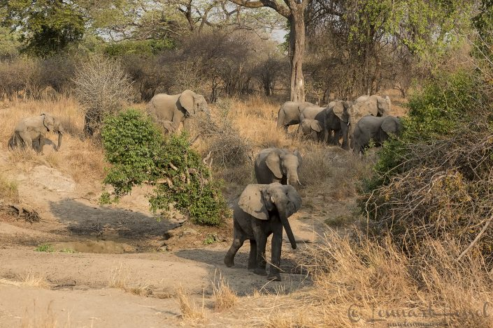 Elephant herd Kafue National Park