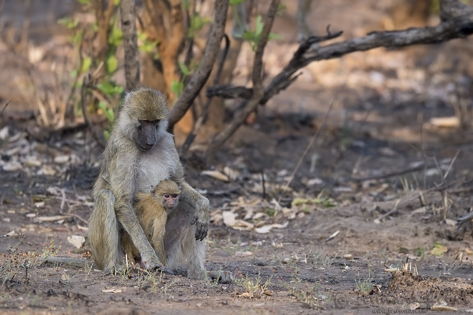 Yellow Baboon mum with young Kafue National Park