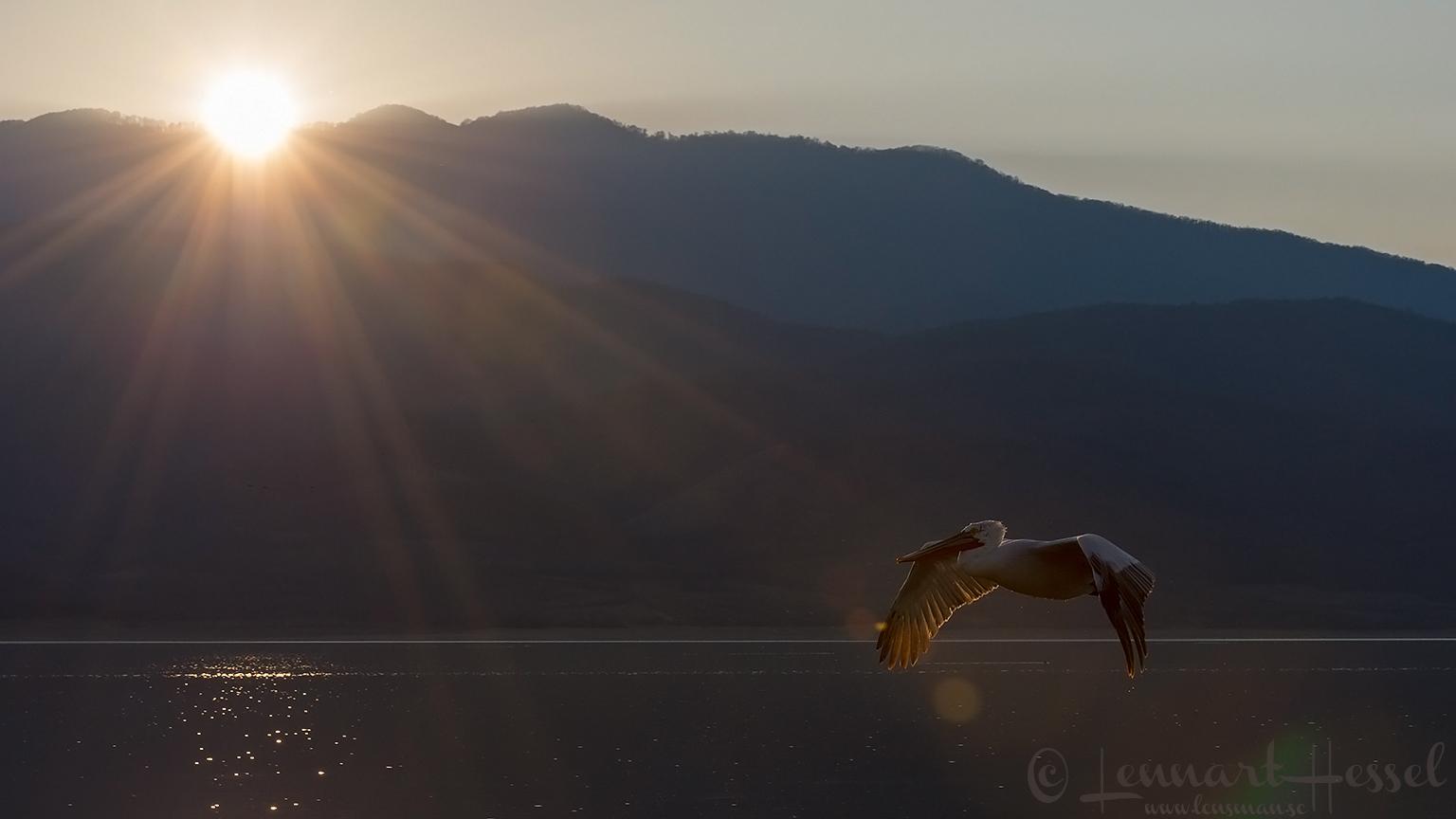 Dalmatian Pelican at sunset Lake Kerkini