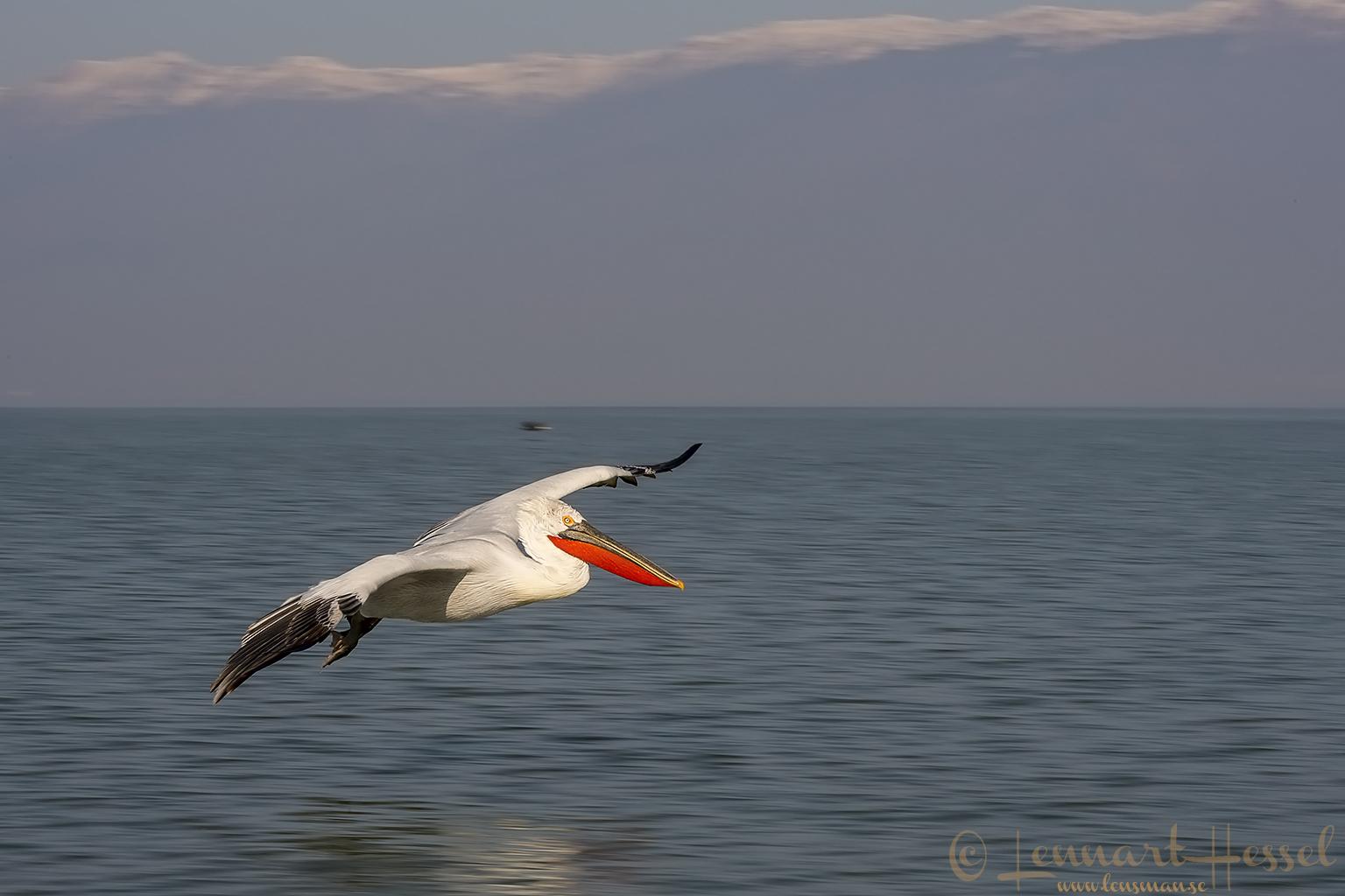 Dalmatian Pelican panning motion Lake Kerkini