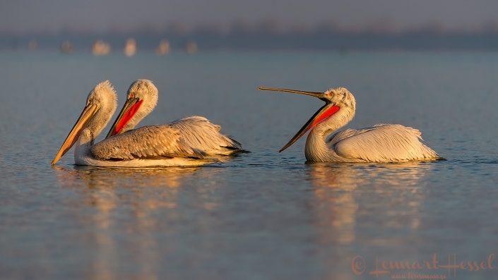 Dalmatian Pelican trio Lake Kerkini