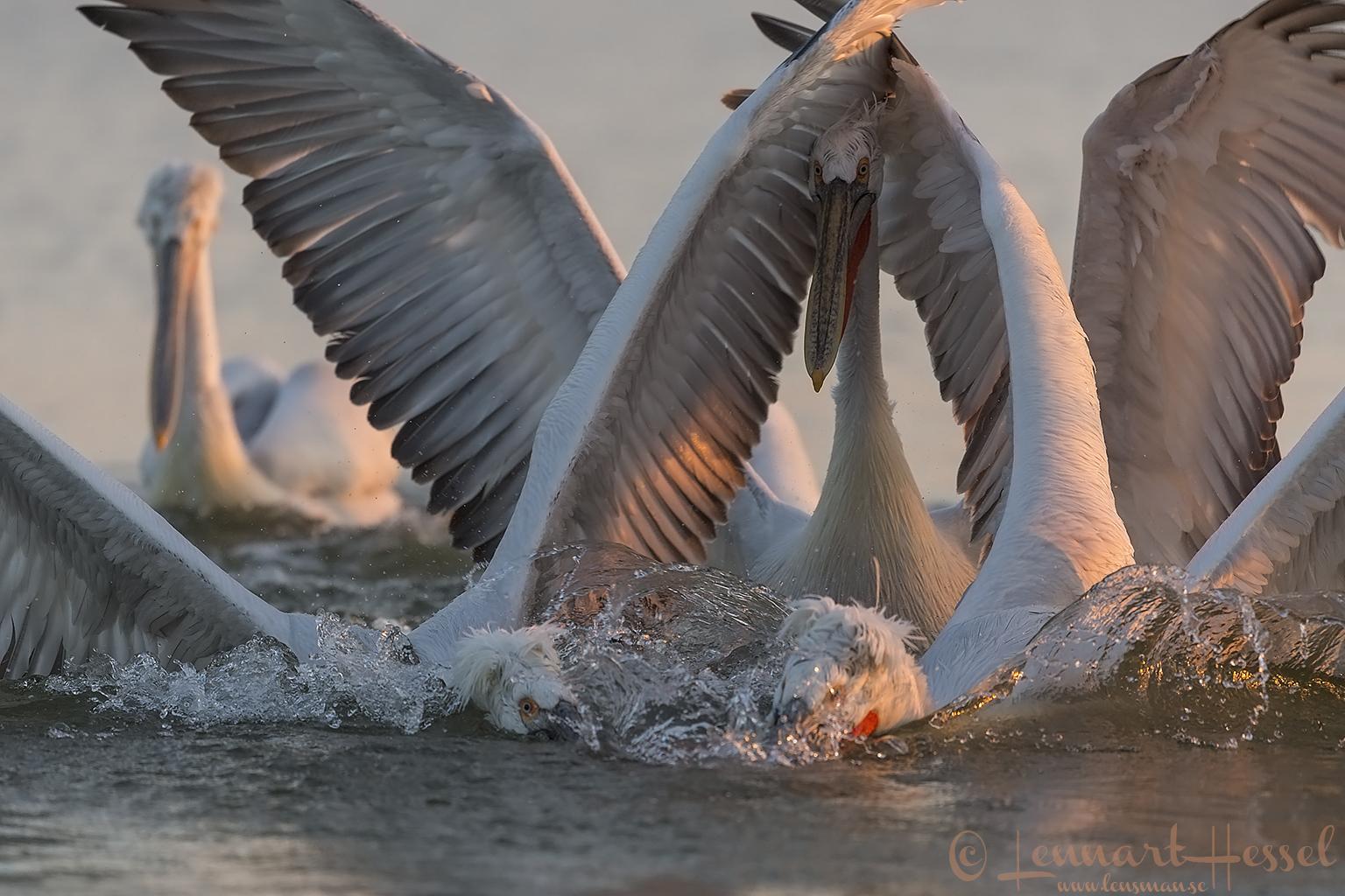 Dalmatian Pelican fighting Lake Kerkini
