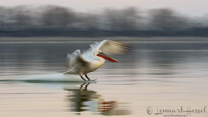 Dalmatian Pelican landing Lake Kerkini
