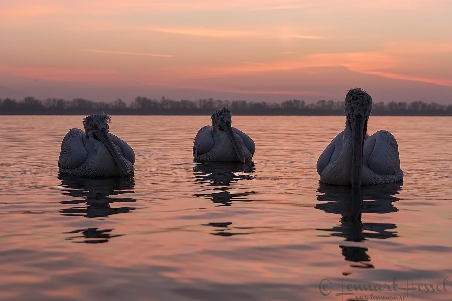 Dalmatian Pelicans at sunrise Lake Kerkini