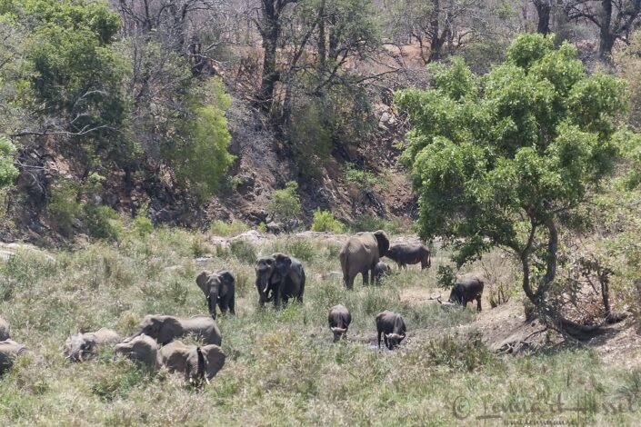 Elephants and Cape Buffalos seen in Kruger National Park, South Africa