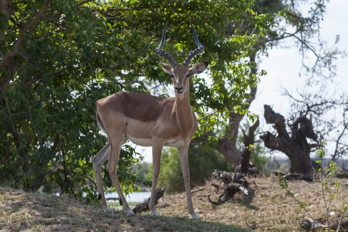 An Impala in Kruger National Park, South Africa
