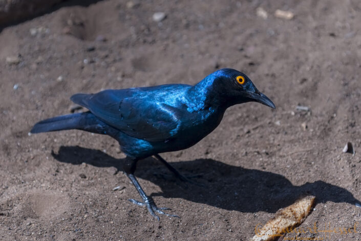 Cape Glossy Starling in Kruger National Park, South Africa
