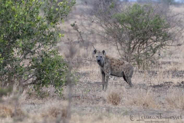 Spotted Hyena seen while walking in Kruger National Park, South Africa
