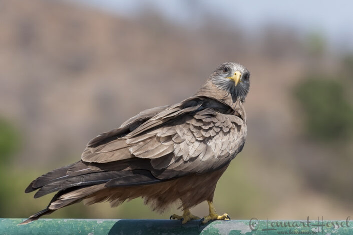 Yellow-billed Kite seen in Kruger National Park, South Africa