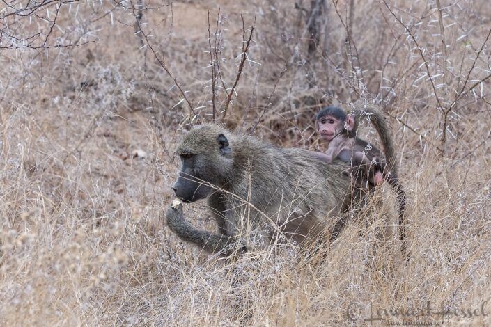 Chacma Baboon with baby in Kruger National Park, South Africa