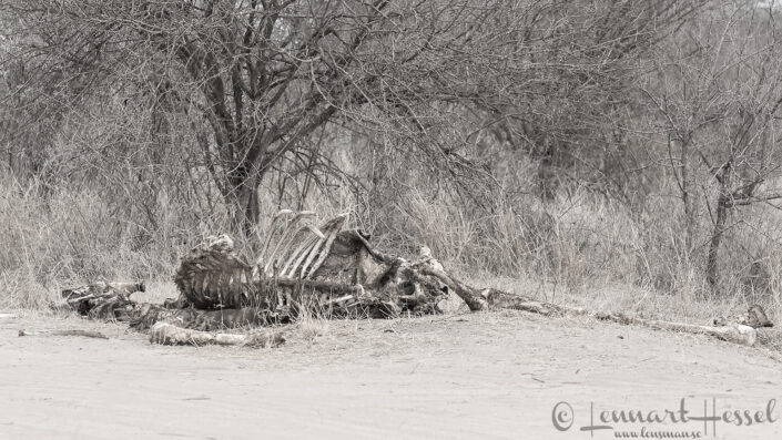 Giraffe carcass in Kruger National Park, South Africa
