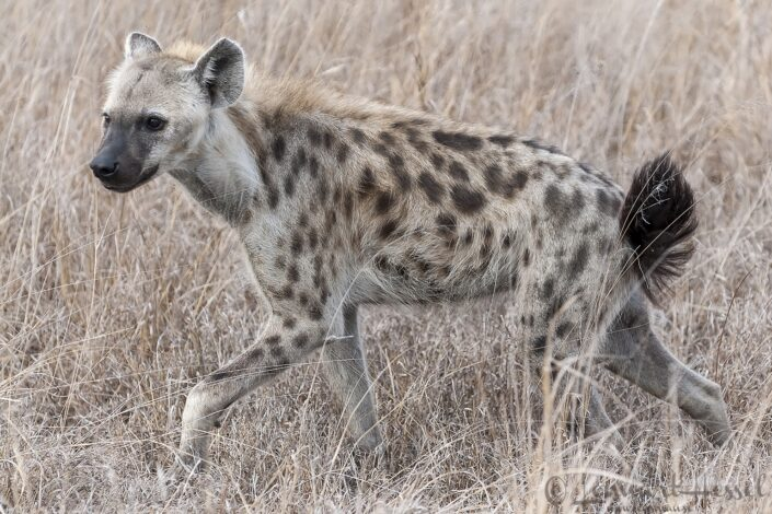 Spotted Hyena in Kruger National Park, South Africa