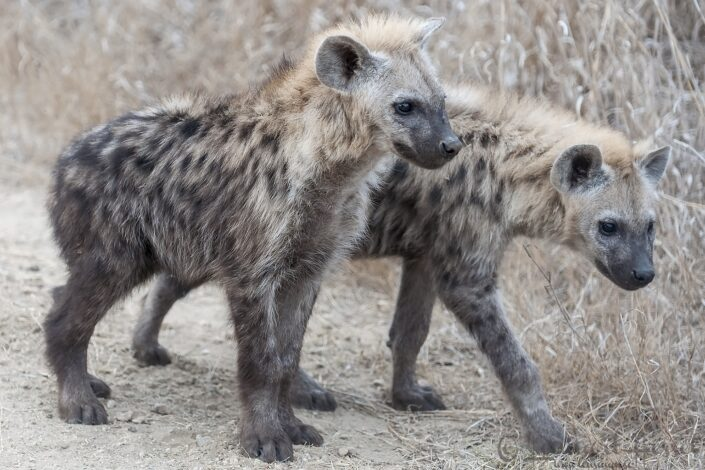 Spotted Hyena youngsters in Kruger National Park, South Africa