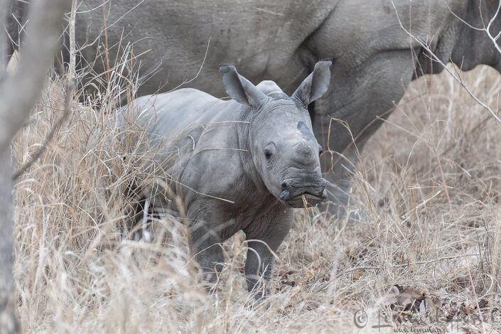 White rhino calf in Kruger National Park, South Africa