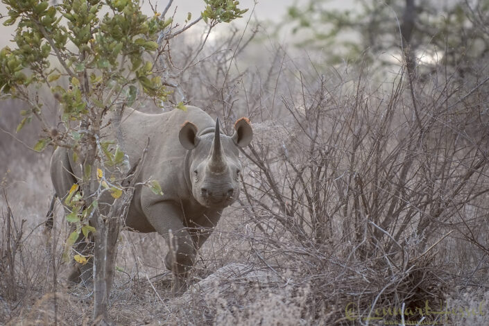 Black rhino in Kruger National Park, South Africa