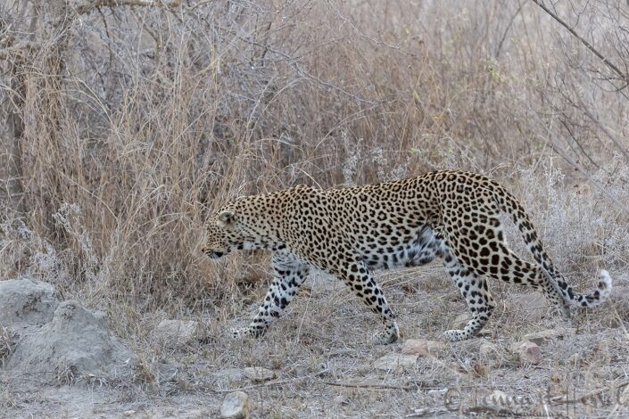 Leopardess in Kruger National Park, South Africa