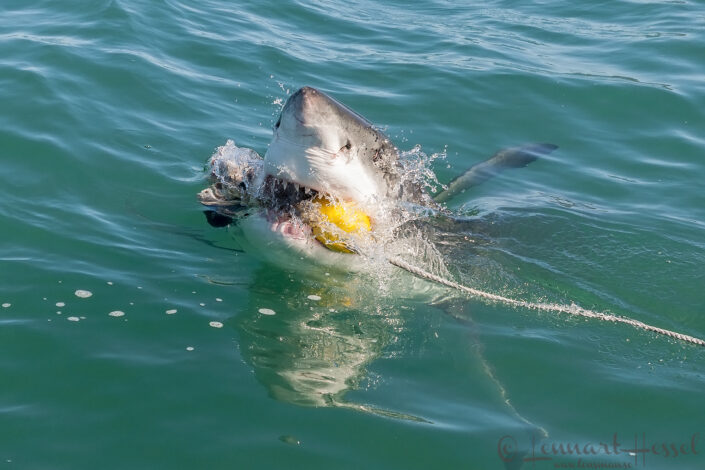 Great White breeching, South Africa