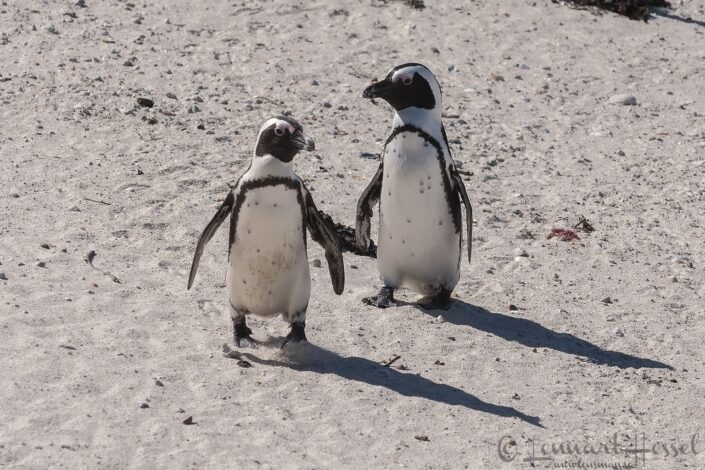 Penguins at Boulders beach in Simons Town, South Africa