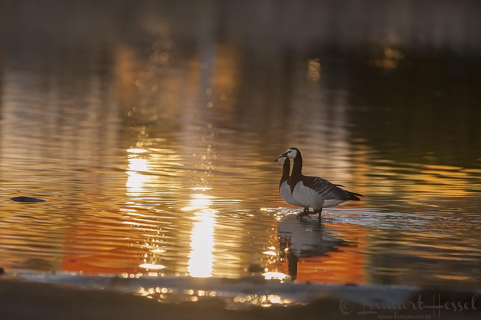 Barnacle Goose, Stora Amundön