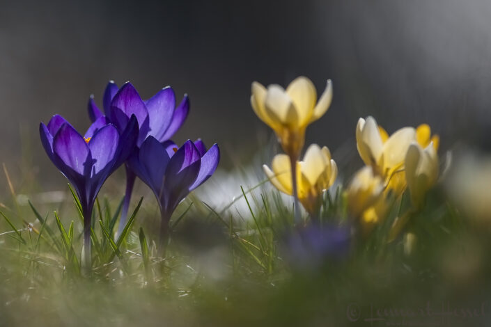 Crocus in backlight spring