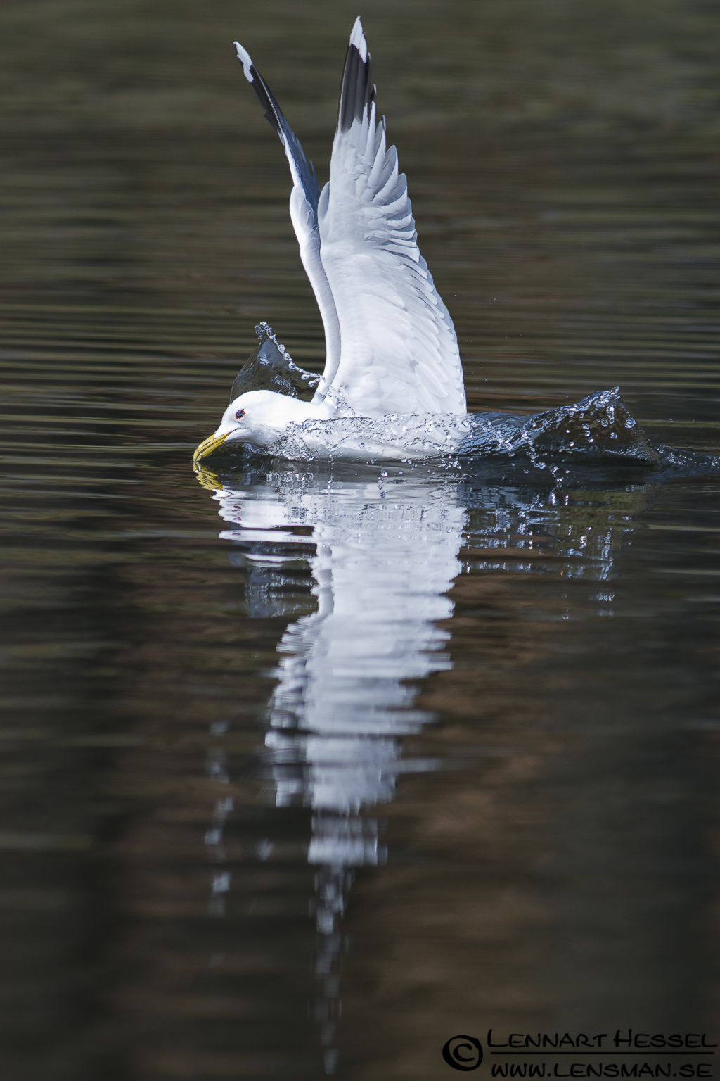 Common Gull in Slottskogen, Gothenburg practice