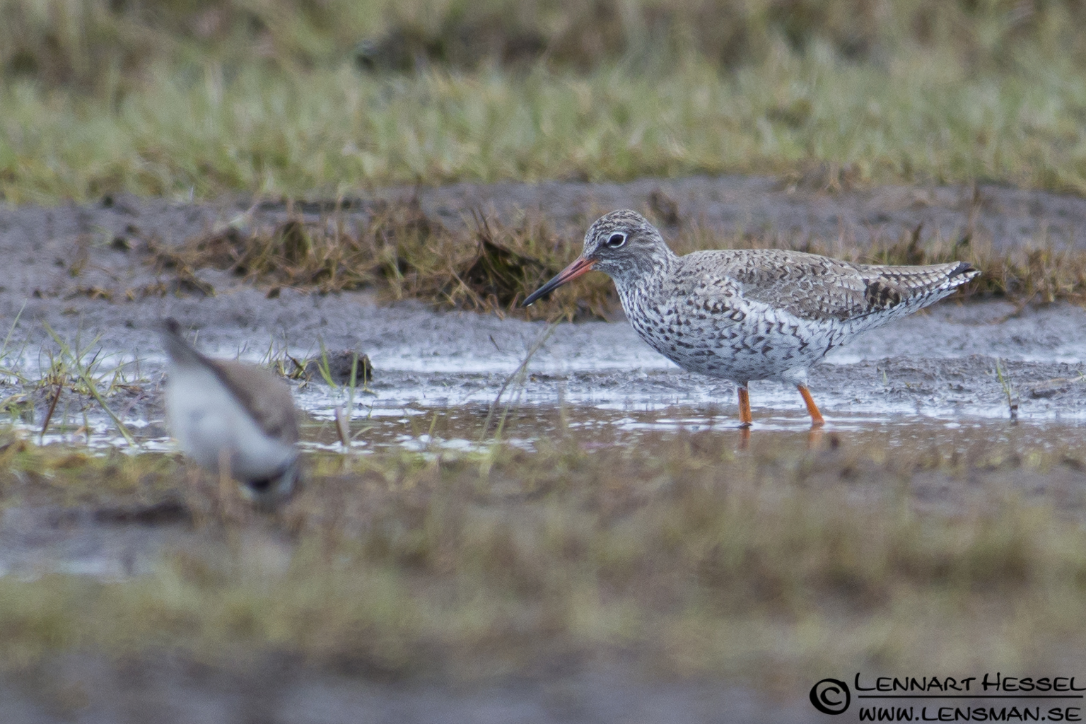 Common Redshank and Little Ringed Plover at Stora Amundön practice