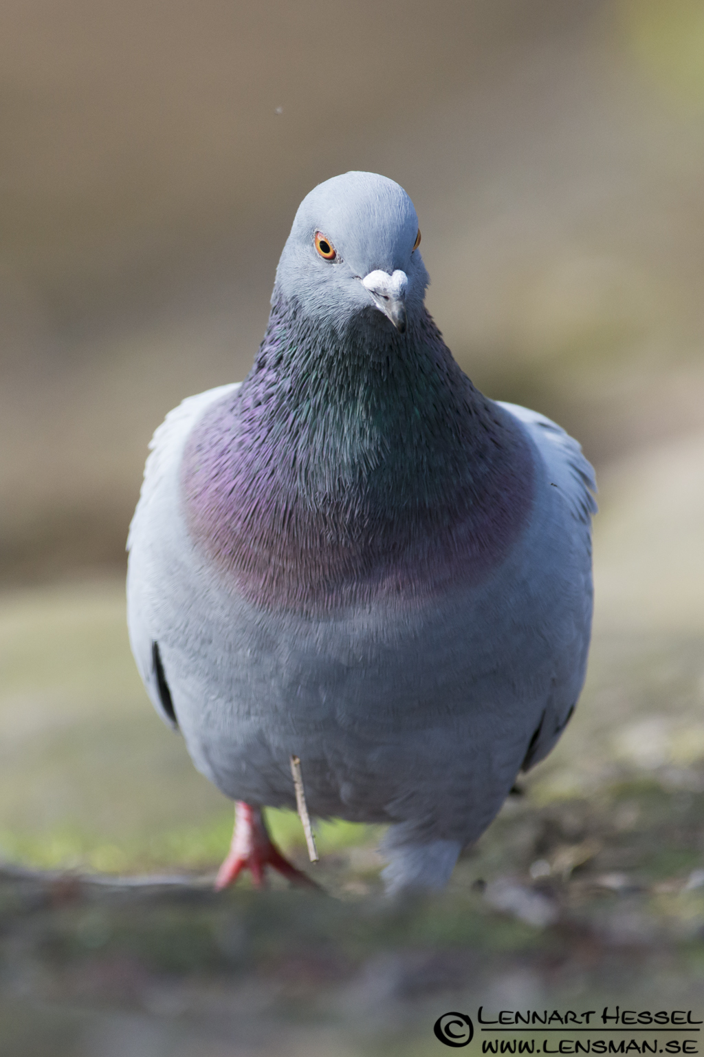 Domestic Pigeon in Slottskogen, Gothenburg practice