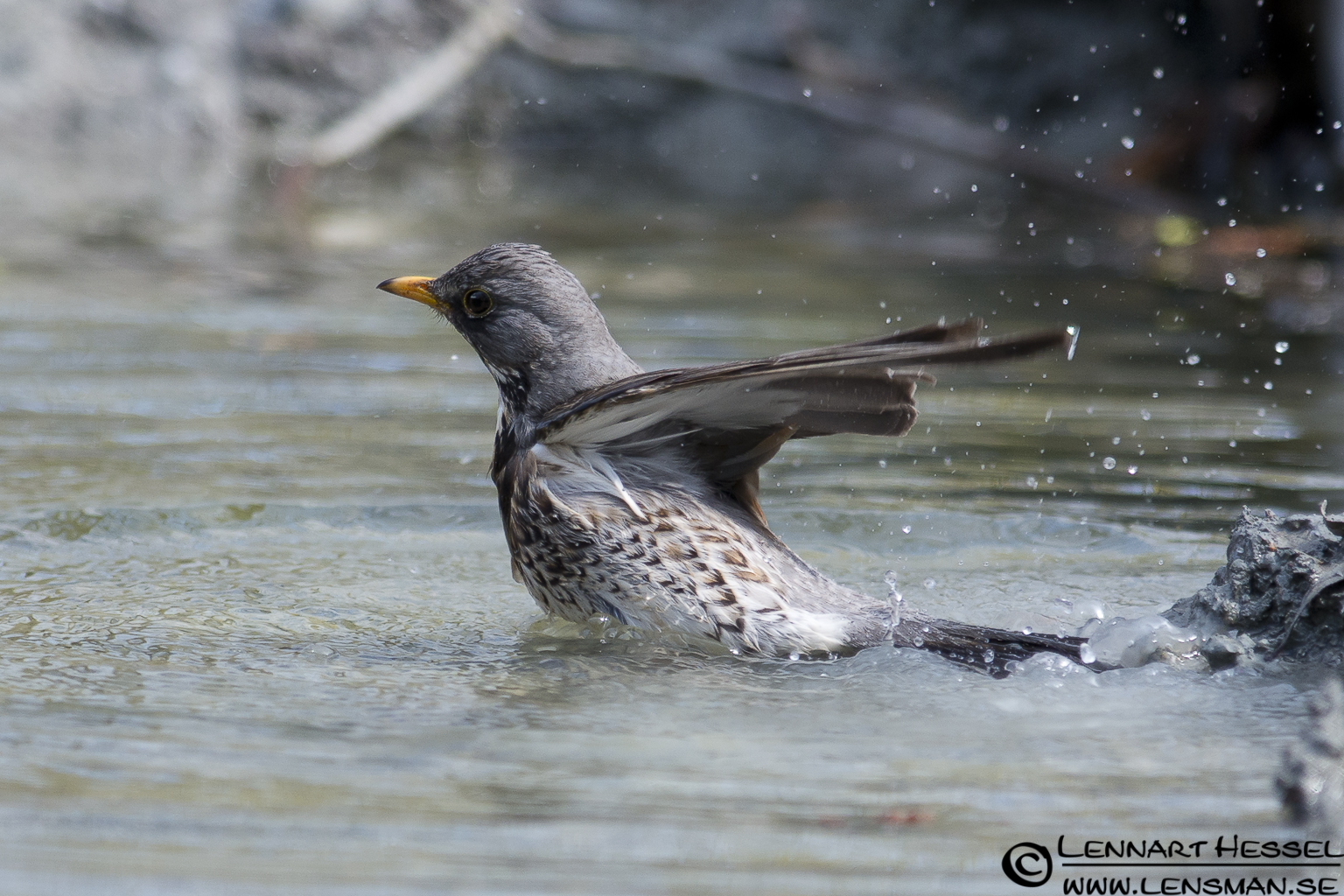 Fieldfare in Slottskogen, Gothenburg practice